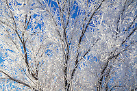 A tree fosted over by the early morning frigid Winter air in the Heber Valley of Utah.