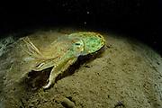 Pharaoh cuttlefish Cuttlefish (Sepia pharaonis) Toyama Bay, Namerikawa, Japan | Pharaonen-Sepia (Sepia pharaonis), Sepia, Tintenfisch, Toyama-Bucht, Namerikawa, Japan