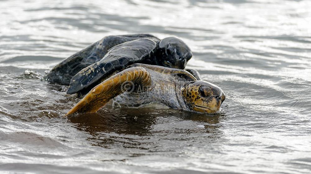 A pair of Green Sea Turtles (Chelonia mydas) mate off Espumilla Beach, James Bay, Santiago Island, Galapagos.