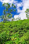 Lush vegetation along the Kalalau Trail, Na Pali Coast, Island of Kauai, Hawaii