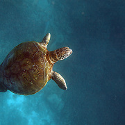 A Sea Turtle swims over corals near Lady Elliot Island, the southern-most coral cay of the Great Barrier Reef, Australia. T