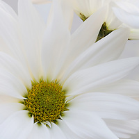 Front view of a young daisy flower with side view of the second flower upper right of picture. Variety of lighting.