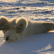 A young polar bear rolling on his back. Hudson Bay, Manitoba, Canada