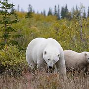 Polar bear (Ursus maritimus) mother and her cub. Hudson Bay, Manitoba, Canada