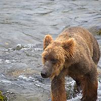 USA, Alaska, Katmai. Brown B ear at Brooks Falls.