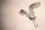 Great Egret (Casmerodius albus or Ardea alba)  in flight