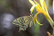 Old World Swallowtail (Papilio machaon) Butterfly on a flower Photographed in Israel, Summer July