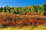 Fireweed (Epilobium sp.)<br />Near Yellowknife<br />Northwest Territories<br />Canada