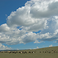 MONGOLIA.  Sheep and goats graze hillsides north of Muren in Hovsgol district.