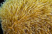 Pillar Coral (Dendrogyra cylindrus)<br /> BONAIRE, Netherlands Antilles, Caribbean<br /> HABITAT & DISTRIBUTION: Flat & slightly sloping bottoms<br /> Florida, Bahamas & Caribbean