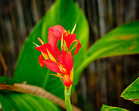 Canna Lily Flower. Image taken with a Fuji X-T3 camera and 80 mm f/2.8 macro lens