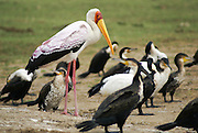 Yellow-billed Stork (Mycteria ibis) Photographed in Uganda, Kazinga Channel that connects Lake Edward to Lake George