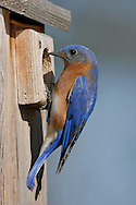 Eastern Bluebird - Sialia sialis - Adult male