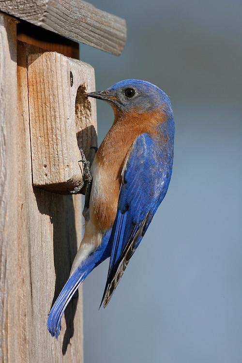 Eastern Bluebird - Sialia sialis - Adult male