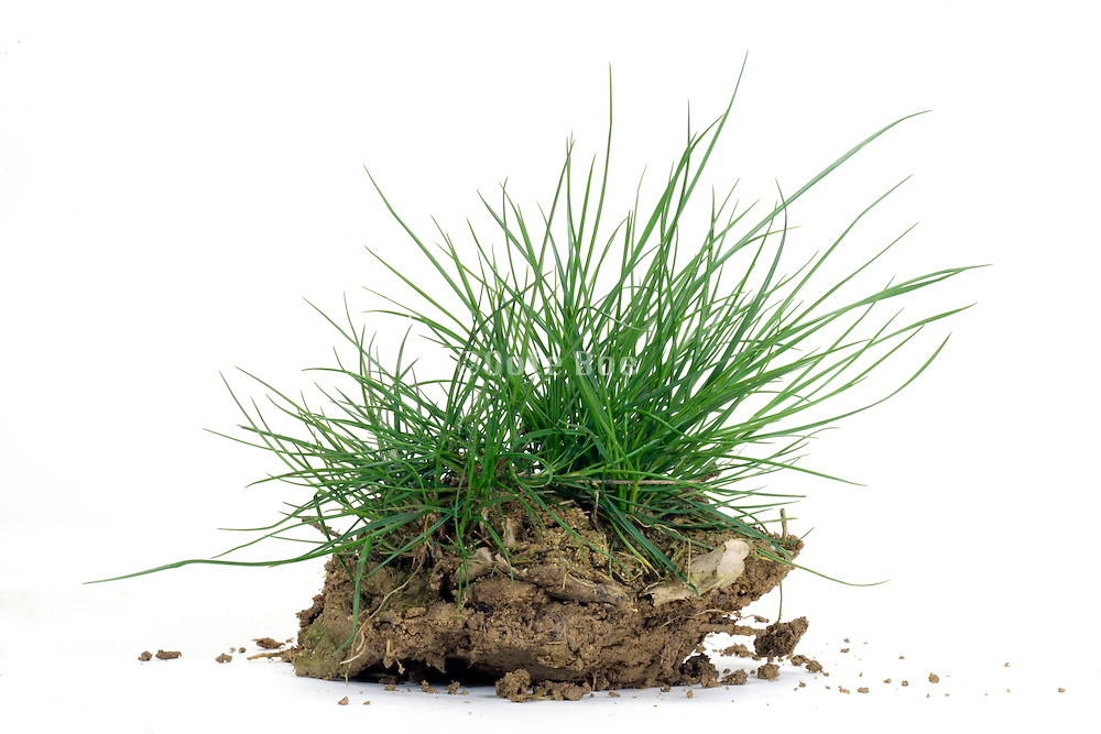 grass on a clump of earth