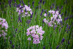 Allium unifolium AGM - American onion - with Lavandula angustifolia 'Munstead'. English lavender