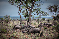 Herd of Wildebeest in Kruger National Park, South Africa.