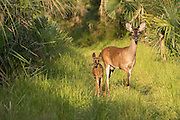 A doe and fawn white-tail deer walk through the woods at Botany Bay Plantation July 3, 2016 in Edisto Island, South Carolina.