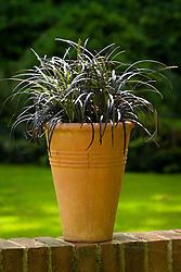 Ophiopogon planiscapus 'Nigrescens' in a tall terracotta pot