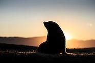 Arctocephalus forsteri (New Zealand Fur Seal)