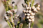 Fox moth (Saturnia pavonia) eggs laid on heather. Surrey, UK.
