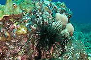 Banded sea Urchin, Maui Hawaii