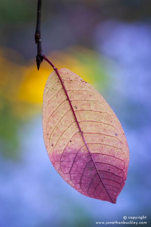 Leaf of Prunus padus 'Colorata' in autumn colour. Aphids showing on leaf's midrib