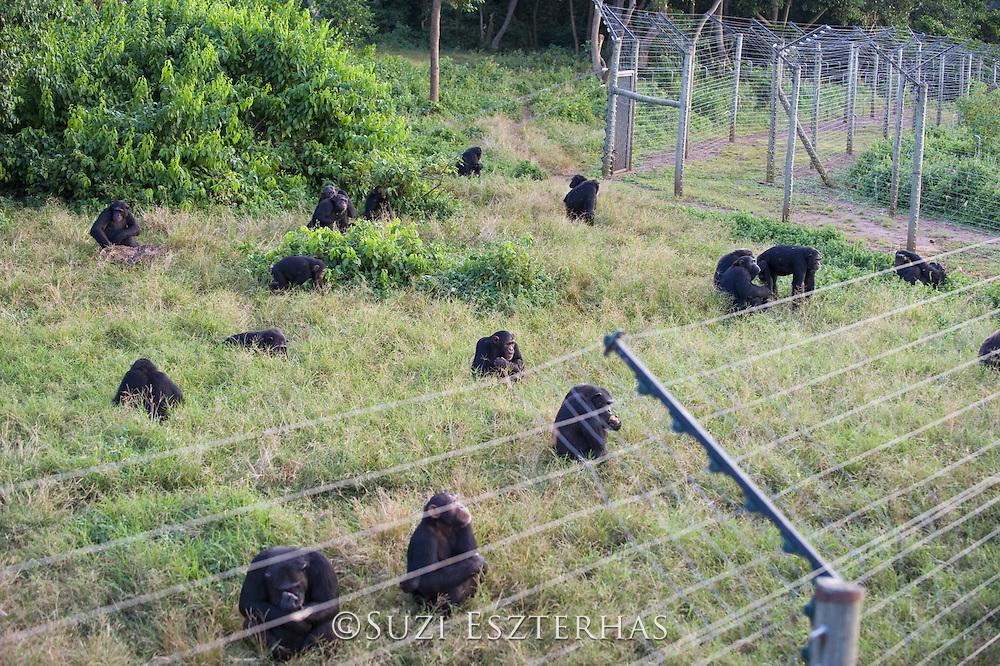 Chimpanzee<br /> Pan troglodytes<br /> Rehabilitated chimpanzee group at fence along perimeter of island sanctuary<br /> Ngamba Island Chimpanzee Sanctuary<br /> *Captive