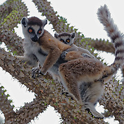 Ring-tailed lemur and her baby foraging on the new leaves of Alluaudia ascendens trees in the spiny forest. Berenty Reserve, Madagascar