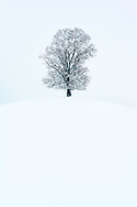 Tief verschneite Linde (Tilia sp.) auf einer Kuppe in der Drumlinlandschaft am Hirzel, Kanton Zürich, Schweiz<br /> <br /> Snow-covered linden (Tilia sp.) On a hilltop in the Drumlin landscape at Hirzel, Canton of Zurich, Switzerland