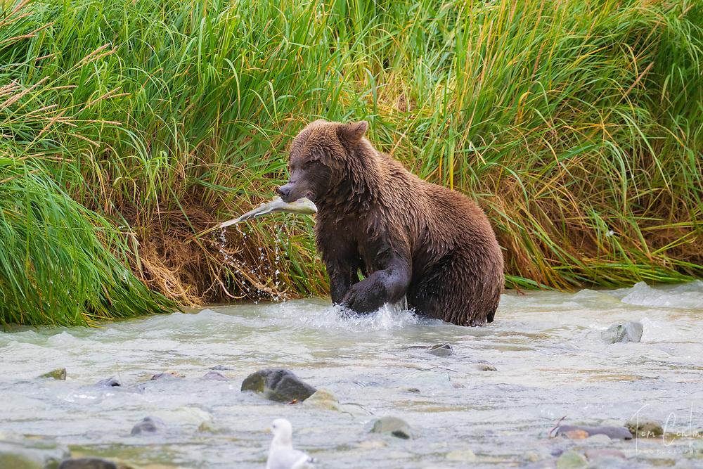 brown bear ~ Ursus arctos ~ adult feeding on salmon ~ Katmai National Park, Alaska ~ www.adventurequestX.com