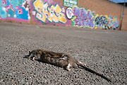 Dead rat in a deserted carpark in the Jewellery Quarter as people observe the stay at home advice from the government on 7th April 2020 in Birmingham, England, United Kingdom. Coronavirus or Covid-19 is a new respiratory illness that has not previously been seen in humans. While much or Europe has been placed into lockdown, the UK government has announced more stringent rules as part of their long term strategy, and in particular social distancing.