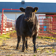 20151124 Black Angus and Vet/Producer
