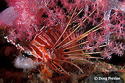 spotfin lionfish, Pterois antennata, resting soft coral at night<br /> Similan Islands, Thailand ( Indian Ocean )