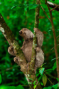 Brown-throated Three-toed Sloth (Bradypus variegatus), at the Manuel Antonio National Park, (Parque Nacional Manuel Antonio), Costa Rica