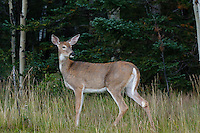 I was out for a sunrise shoot in Kananaskis and I was very excited to find a several deer near the lodge.  This adult was quite wary and quickly retreated across the road and into the woods...©2009, Sean Phillips.http://www.Sean-Phillips.com