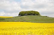 Furze Knoll copse of trees on Morgan's Hill, chalk downland, near Devizes, Wiltshire, England, UK