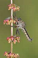 Machimus cingulatus - Machimus cingulatus - a robber-fly