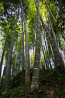 Bamboo is the largest species in the grass family Poaceae. In most types of bamboo the stems are hollow and the sections are modular. Besides having tensile strength that rivals steel, it is also a food source and one of the fastest growing plants on Earth.