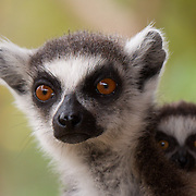 Ring-tailed lemur mother with a young baby, Madagascar