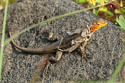 A female lava lizard sheds skin on Santiago (or San Salvador, or James) Island, in the Galápagos archipelago, a province of Ecuador. Collectively known as lava lizards, seven ground lizard species of the reptile genus Tropidurus are endemic to the Galápagos Islands (and commonly placed in the genus Microlophus). All seven most likely evolved from a single ancestral species, demonstrating the principal of adaptive radiation that is typical of the inhabitants of the Galapagos archipelago. One lava lizard species occurs on all the central and western islands, which were perhaps connected during periods of lower sea levels, while one species each occurs on six other more peripheral islands. Males and females of all Tropidurus species are marked differently. The male is usually much larger than the female, and its body is more brightly colored and distinctly patterned. Markings vary considerably, even within an individual species. Animals living mainly on dark lava are darker than ones which live in lighter, sandy environments. Like many lizards, they show changes of color with mood and temperature. Santiago is equivalent to Saint James in English; and its alternative name San Salvador refers to the island discovered by Columbus in the Caribbean Sea. Santiago Island has a maximum altitude of 907 metres (2976 feet). Human-introduced pigs and goats caused great harm to the endemic species, but have been subsequently eradicated (pigs in 2002; goats almost all eliminated).
