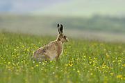 Brown hare, Lepus europaeus, sat in field of grass,  Inverness-shire, Highland.<br /> landscape; season; seasons; summer; green; brown;<br /> grass; grassland; field; fields; one; single; lone; alone;<br /> animal; animals; mammal; mammals; lagomorph; lagomorphs;<br /> alert; wi