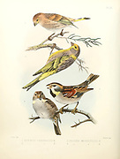 Male and female finches (Serinus sp. [Here as Serinus canonicus] Top and  Dead Sea sparrow (Passer moabiticus) Bottom From the survey of western Palestine. The fauna and flora of Palestine by Tristram, H. B. (Henry Baker), 1822-1906 Published by The Committee of the Palestine Exploration Fund, London, 1884