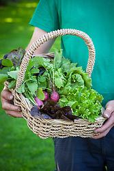Harvesting salad leaves into a basket. Lettuce and radish