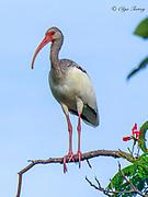 White Ibis, Cuba.