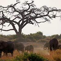 Africa, Kenya, Amboseli. Elephants in the African landscape of Amboseli.