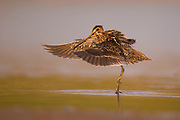 Common snipe (Gallinago gallinago), a shorebird found across North America, Eurasia and Northern Africa. It has the longest straight bill of all shorebirds, the tip is flexible enough to allow it to probe soft mud to feel for food. It feeds on worms, small molluscs and insects. Photographed at the Ein Afek Nature reserve, Israel in September