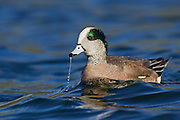 Stock photo of American Wigeon captured in Colorado.  Wigeons are primarily vegetarians.  Although not a diving duck, it favors pond-bottom plants.  They will often steal their food from other diving ducks, such as canvasbacks and scaups.