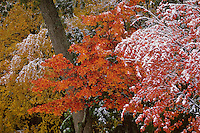 """""""October Snow"""".October snow at Walden Pond coats colorful leaves.  Fall views at Walden Pond."""