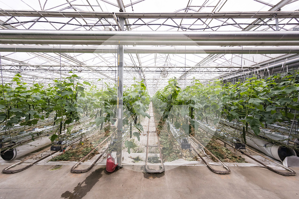 SCHWEIZ - NIEDERBIPP - Gurkengewächshaus von Bösiger Gemüsenkulturen AG - 21. Juni 2019 © Raphael Hünerfauth - http://huenerfauth.ch